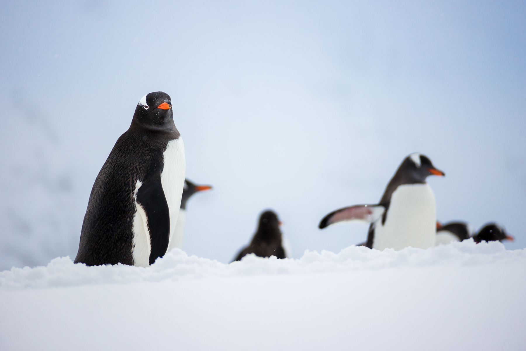 photo essay antarctic penguins antarctica a gentoo penguin carefully makes it s way up the hillside to its nesting ground
