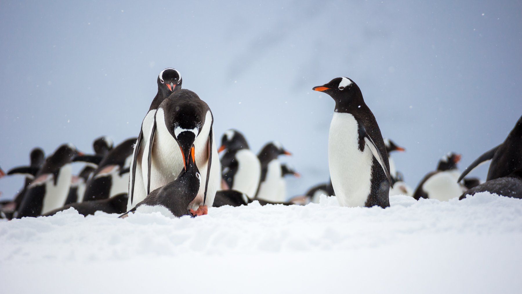 photo essay antarctic penguins antarctica lovers embrace mating gentoo penguins admired by wishful onlookers
