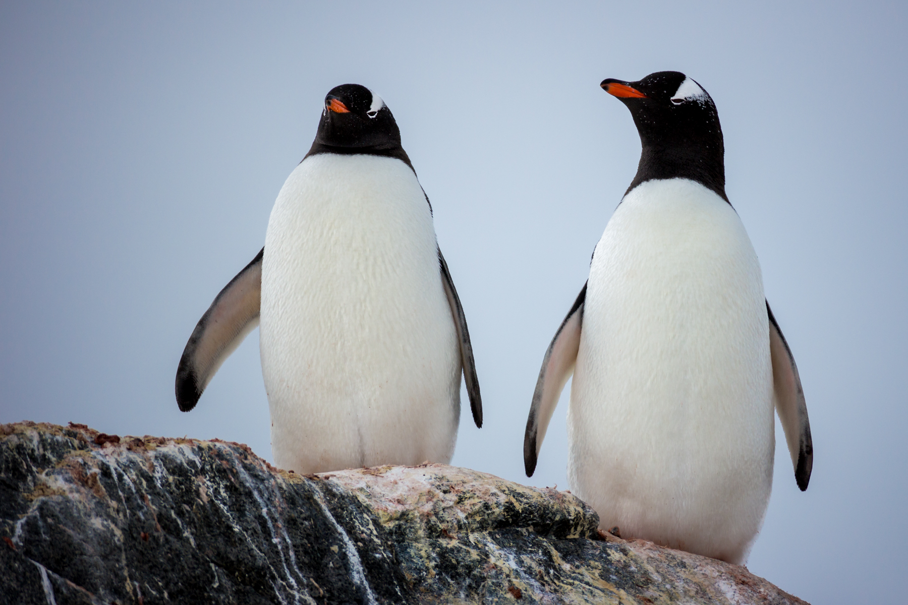 photo essay antarctic penguins antarctica a pair of gentoo penguins survey the land