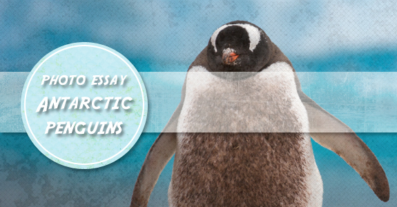 photo essay antarctic penguins antarctica photo essay antarctic penguins