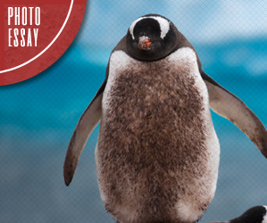 photo essays from my travels by paul skidmore photo essay antarctic penguins